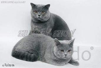 Котята британские, Голубой окрас
