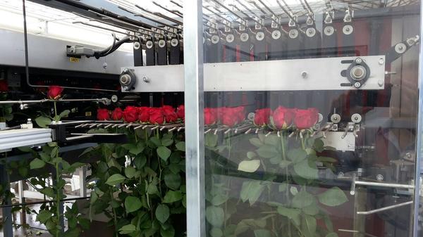 Рабочие в теплицу по уходу за розами.