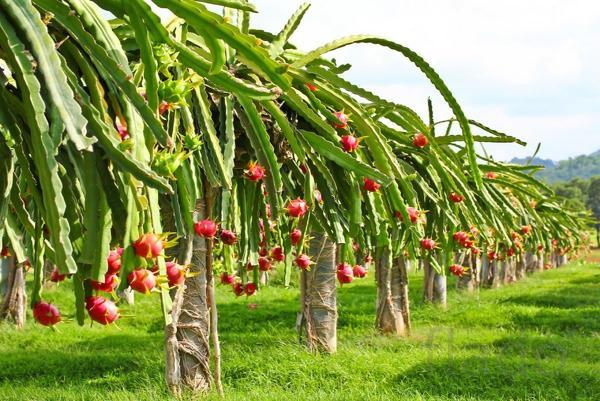 Инвестиции в плантации питахайи в Эквадоре.