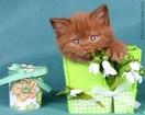 Британские котята циннамон, лиловые и фавн