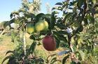 Выращиваем плодовые деревья