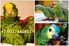 Попугай амазон - птенцы выкормыши из питомников Европы