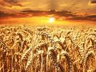 Пшеница 3 класса от производителя. 16500 руб/тонна