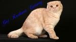 Питомник шотландских кошек Gai Radiant Cattery