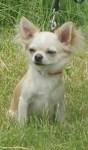 Питомник ХАРЛЕТТО предлагает щенков чихуахуа и йоркширских терьеров