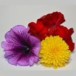 Клумба46 - однолетние и многолетние растения, рассада цветов