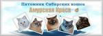 Амурская Краса. Питомник сибирских кошек