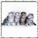 «Silver Sharm» - питомник британских и шотландских кошек